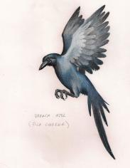 Urraca azul
